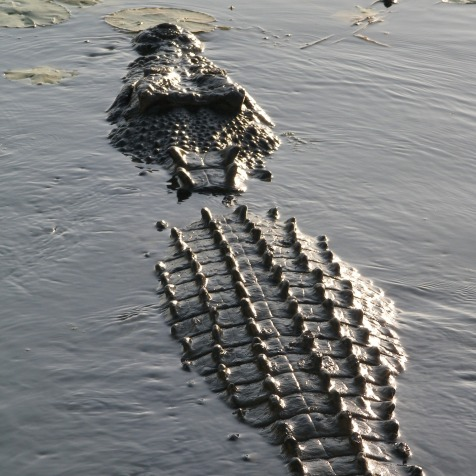 crocodile-1091864_1920
