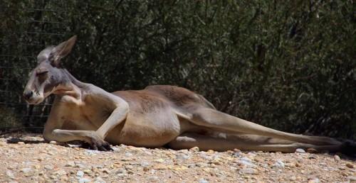 kangaroo-1006539_1280