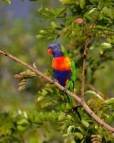 rainbow-lorikeet-420706_1280